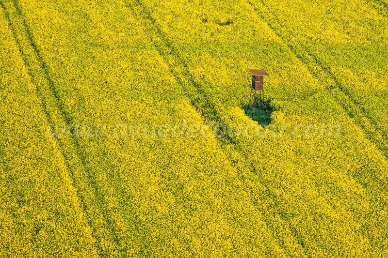Mirador dans un champ de colza