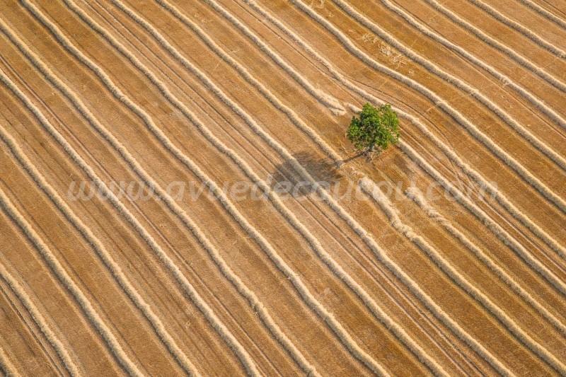 Andains de blé