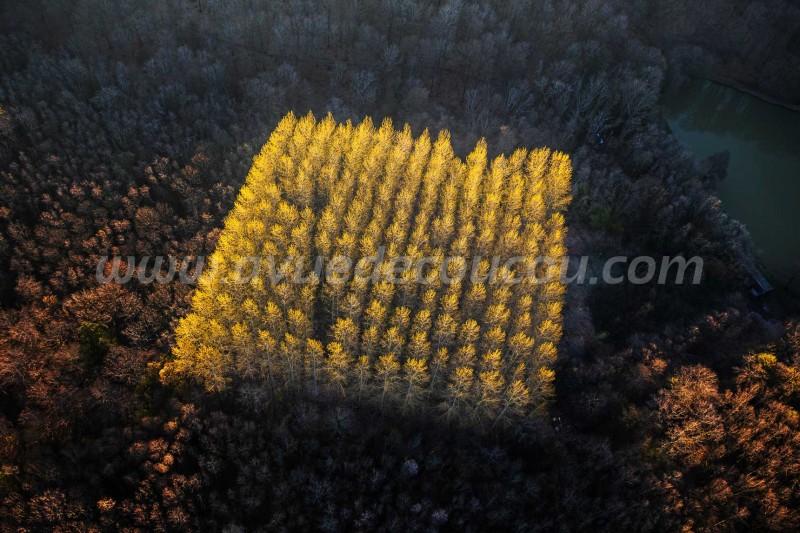 Plantation de peupliers